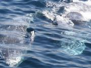 San Diego Whale & Dolphin Watching Cruise A truly magical experience!